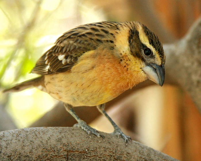 Grosbeak Juvenile 001