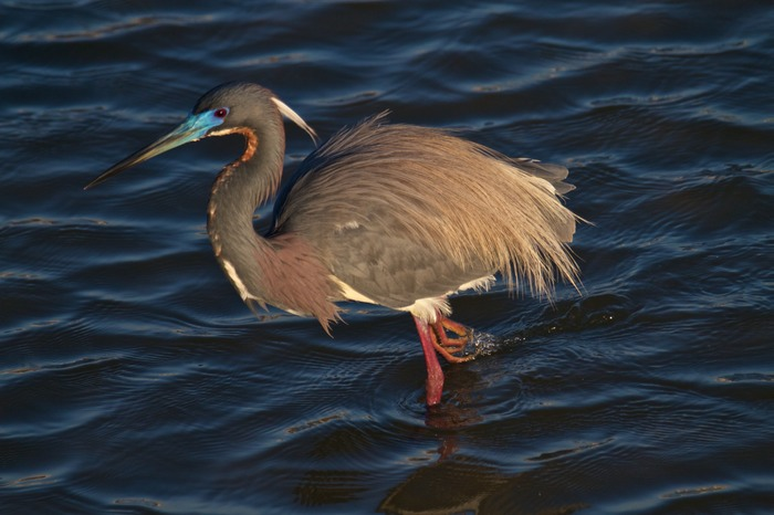 Tricolored Heron 003