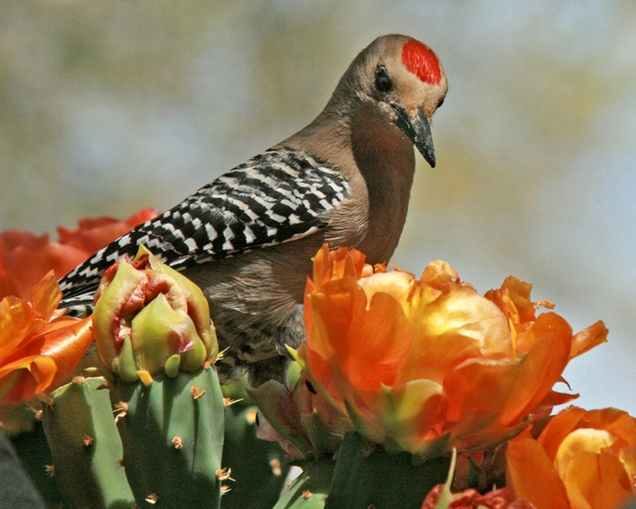 Gila Woodpecker 001